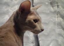 Hidji, femelle orientale fawn