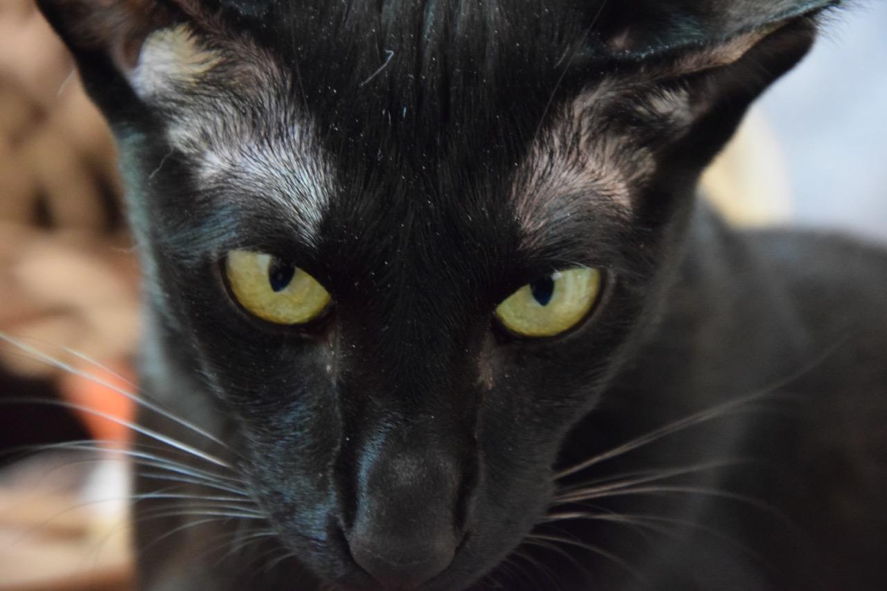 Noire, femelle orientale noire
