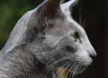 Navarre, mâle oriental bleu