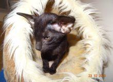 Panthère (Wakanda Ostrava Bambola), femelle orientale noire